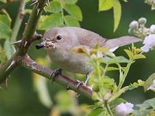 garden warbler with food for young photo