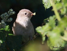 male garden warbler with insect food