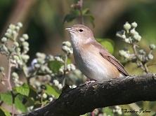 male garden warbler picture