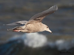 glaucous gull in flight Dungeness