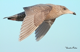 glaucous gull in flight photo