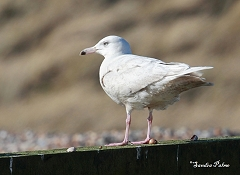 second winter glaucous gull