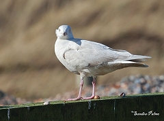 second winter glaucous gull West Sussex