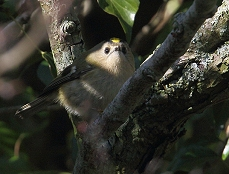 goldcrest photo