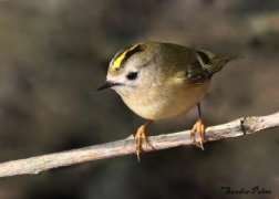 Female Goldcrest photo