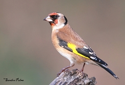 female goldfinch photo