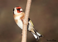 goldfinch Warnham LNR
