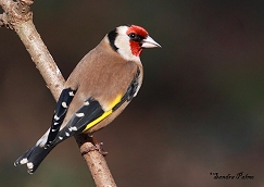 male goldfinch photo