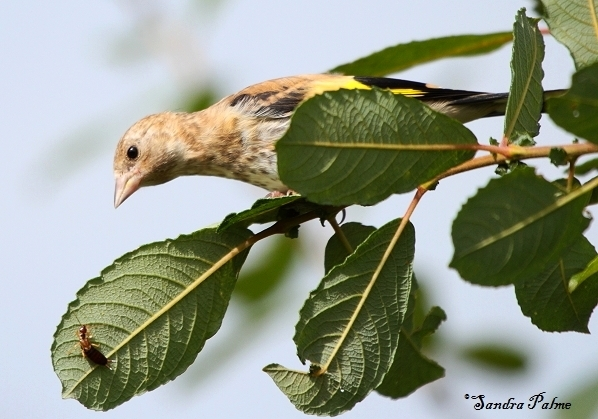 Juvenile Goldfinch with earwig