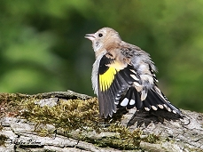 juvenile goldfinch sunbathing