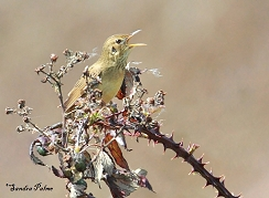 grasshopper warbler in full song