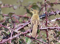 grasshopper warbler photo