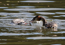 Juvenile Great Crested Grebe being fed