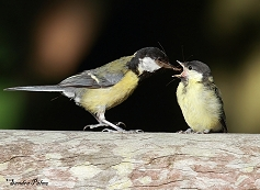 great tit adult and fledgling