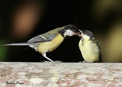 great tit adult and fledgling photo