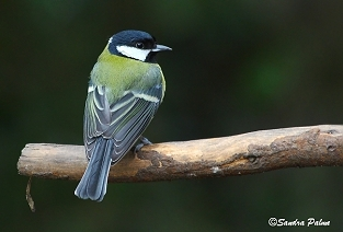 Great Tit picture