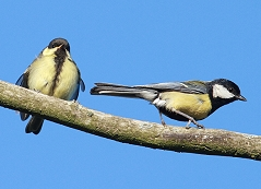 Great tit with chick