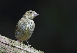 Juvenile Greenfinch photo