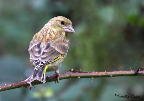 Greenfinch Bird Photos By Sandra Palme
