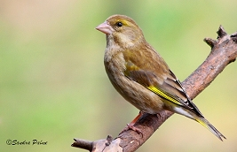 Female Greenfinch photo
