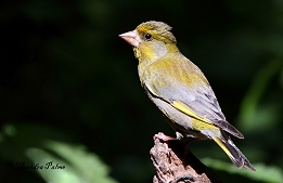 Greenfinch in the sunshine
