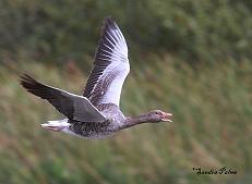 Greylag Goose flight photo