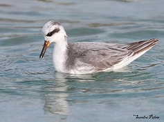 grey phalarope wading bird photo