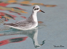 grey phalarope bird photo