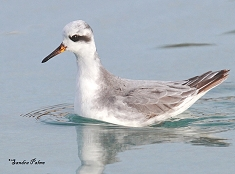 grey phalarope Hove Lagoon East Sussex