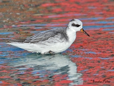grey phalarope Hove Lagoon photo