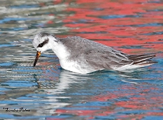 grey phalarope Hove East Sussex photo