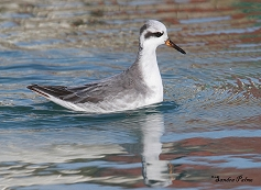 grey phalarope Phalaropus fulicarius photo