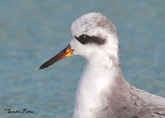 grey phalarope Phalaropus fulicarius close-up photo
