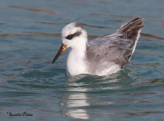 grey phalarope Hove Lagoon East Sussex photo