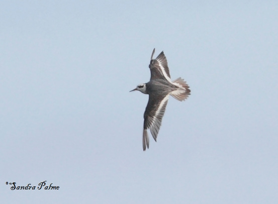 grey phalarope in flight