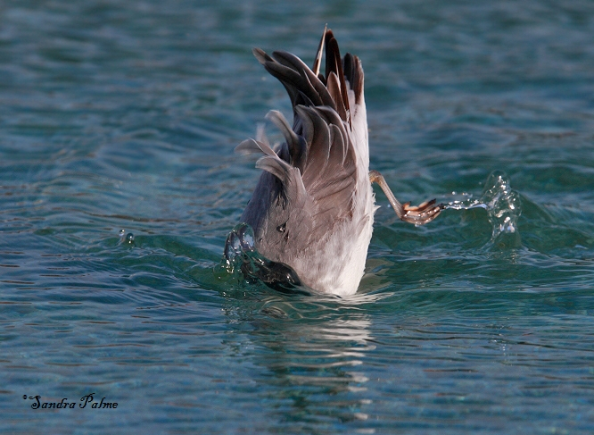 grey phalarope diving