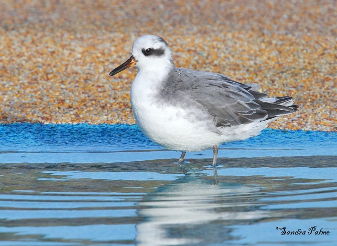 grey phalarope wader photo