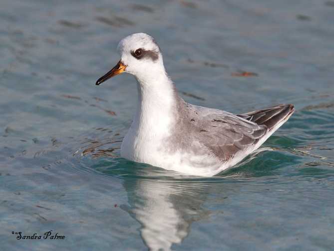 grey phalarope swimming