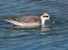 grey phalarope feeding