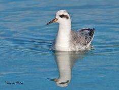 grey phalarope swimming on paddling pool