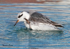 grey phalarope scratching