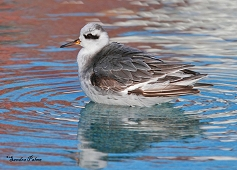 grey phalarope fluffed up