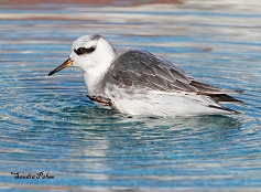 adult grey phalarope