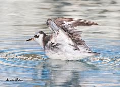 grey phalarope wing-stretching