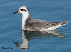 grey phalarope Hove swimming