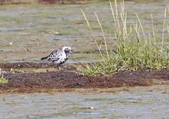 grey plover summer plumage