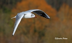 Flying black-headed gull photo