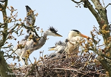 Grey Heron with chicks