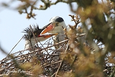 Grey Heron feeding chick