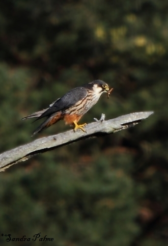 Hobby - bird photos by Sandra Palme